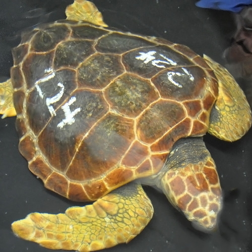 Rescued turtle