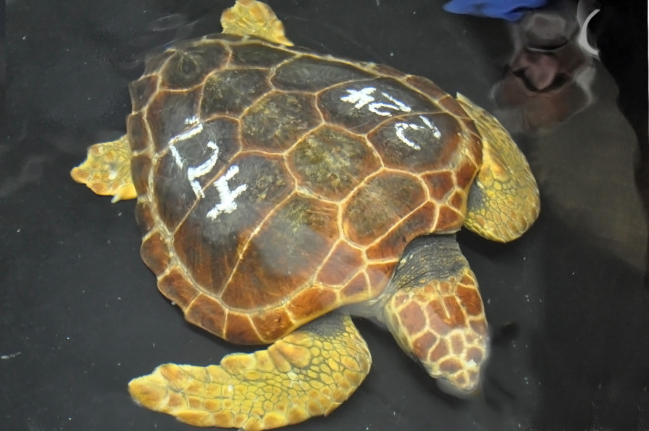 loggerhead sea turtle Find out what's known about loggerhead sea turtles, caretta caretta, reptilia, testudines, cheloniidae, including their world range and habitats, feeding behaviors, life history, ecology, reproduction, and conservation status.