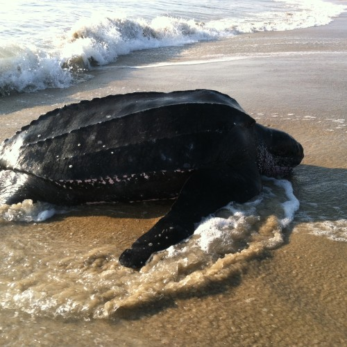 Leatherback female coming onto shore to nest