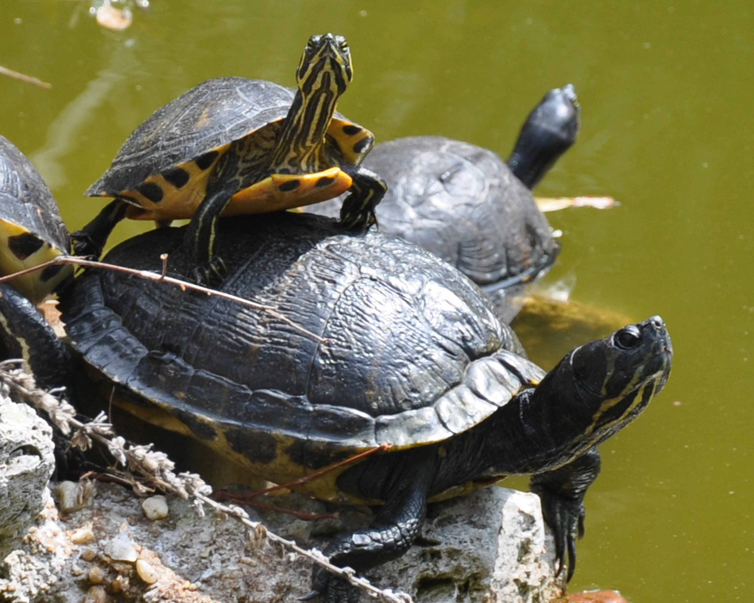 turtles, aquatic turtles and marine turtles. Twenty species of turtles ...