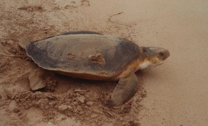 Flatback sea turtles are endemic to Australia