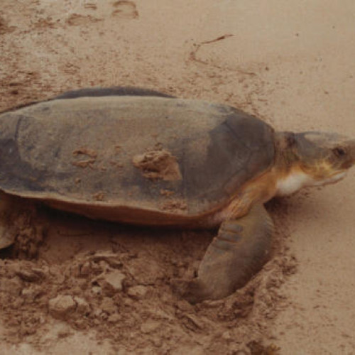 Flatback adult on the beach