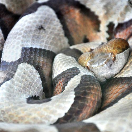 Copperhead snake at the North Carolina Aquarium at Fort Fisher