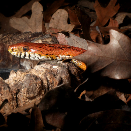 Corn snake at the North Carolina Aquarium at Fort Fisher
