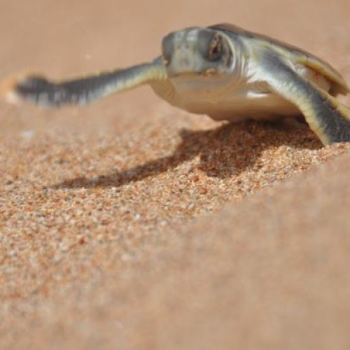 Flatback hatchling heading to the sea