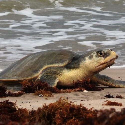 Kemp's ridley female coming up onto the beach