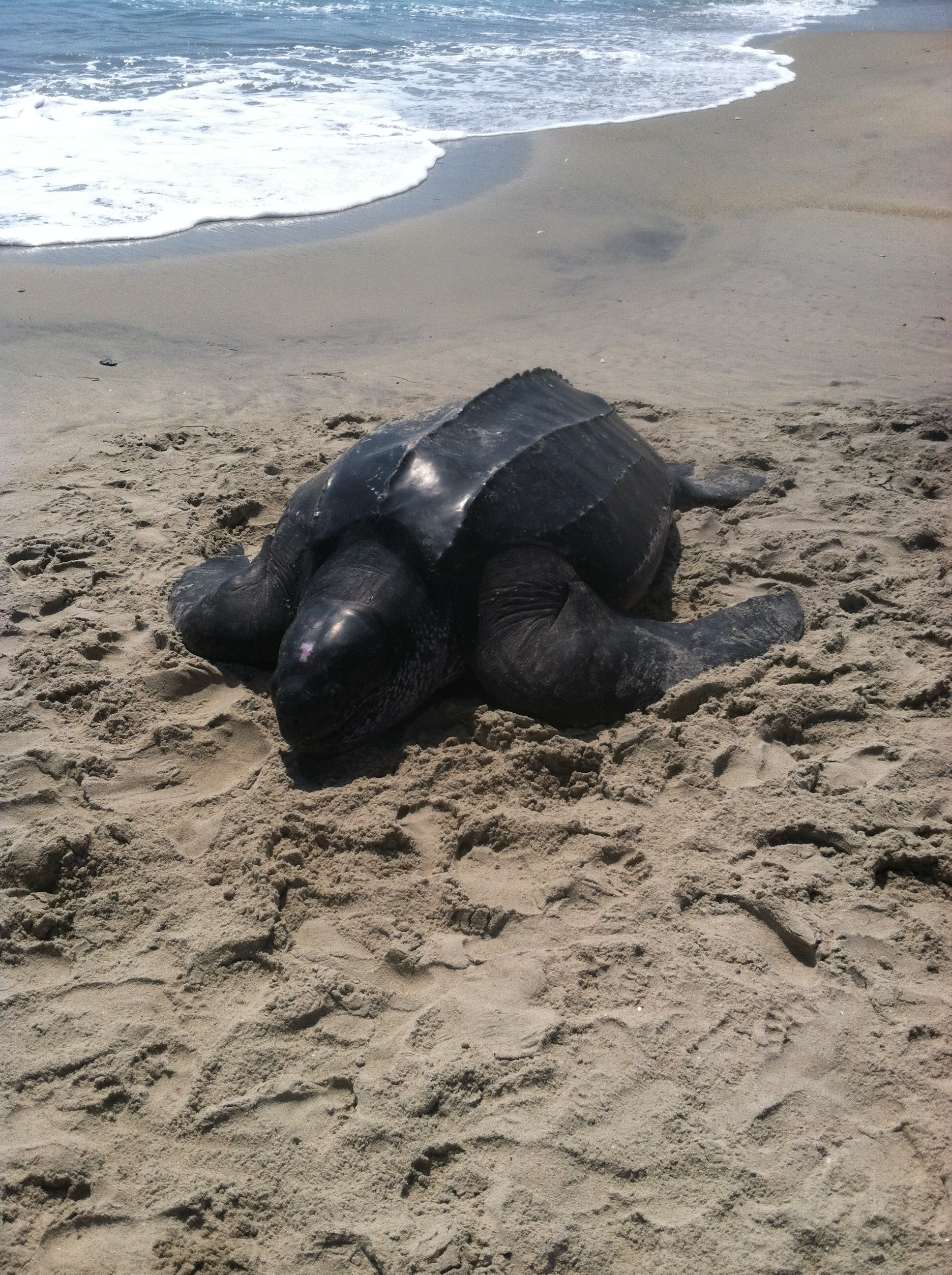 Leatherback sea turtle images