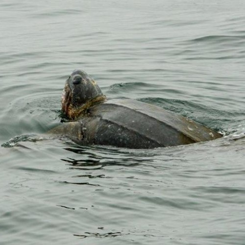Leatherback eating