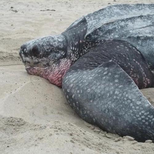 Leatherback nesting
