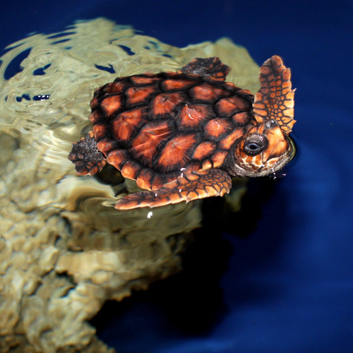 Loggerhead turtle on exhibit at the North Carolina Aquarium at Fort Fisher.