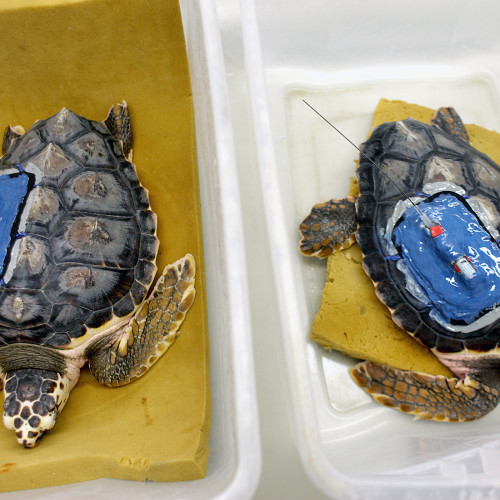 Loggerheads with satellite tags at the North Carolina Aquarium at Fort Fisher.