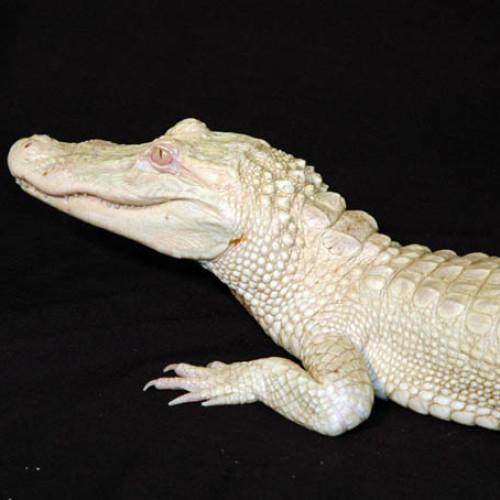 Luna, the albino alligator at the North Carolina Aquarium at Fort Fisher.