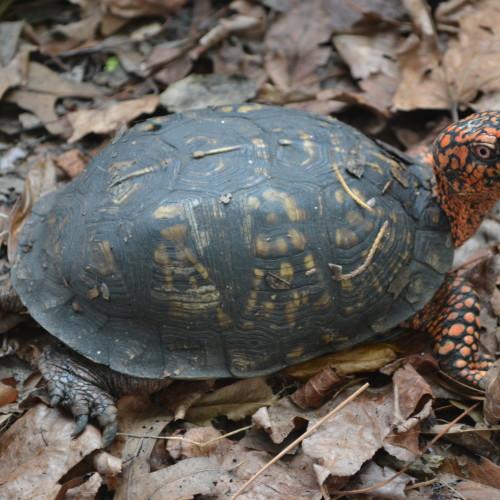 Male box turtle at the North Carolina Aquarium at Fort Fisher.