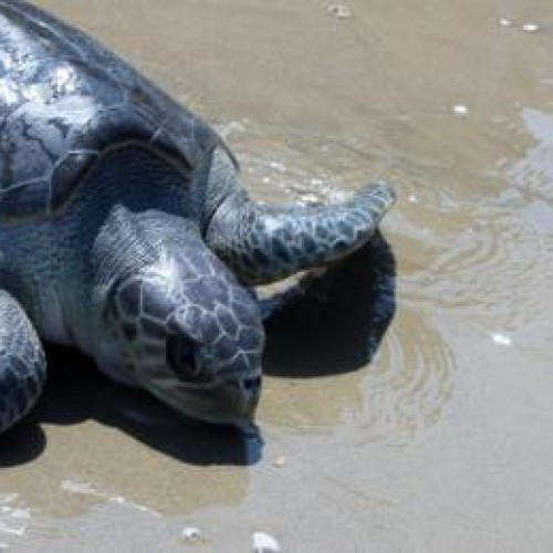 Olive ridley on the beach