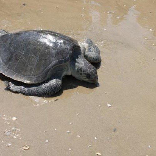 Olive ridley female on the beach