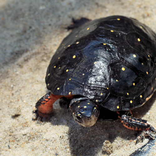 Spotted turtle at the North Carolina Aquarium at Fort Fisher.