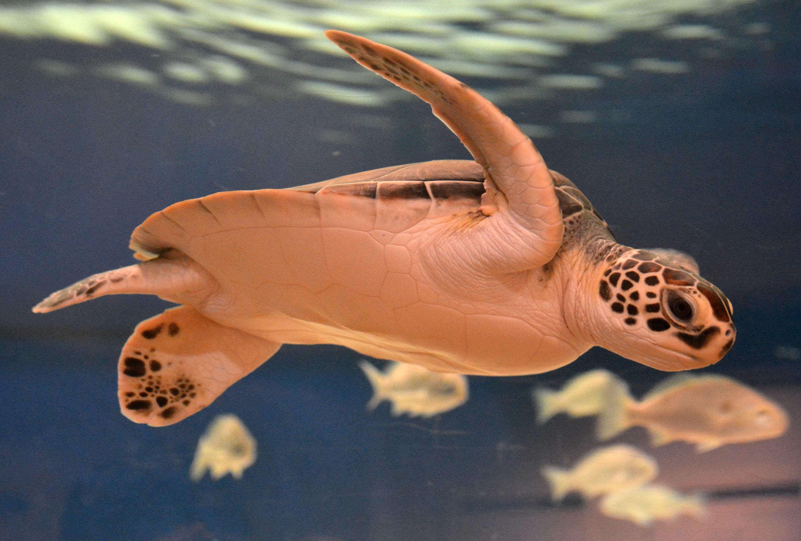 Sea Turtle Adaptations Sea Turtle Exploration