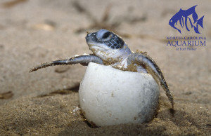 Green sea turtle hatching from an egg