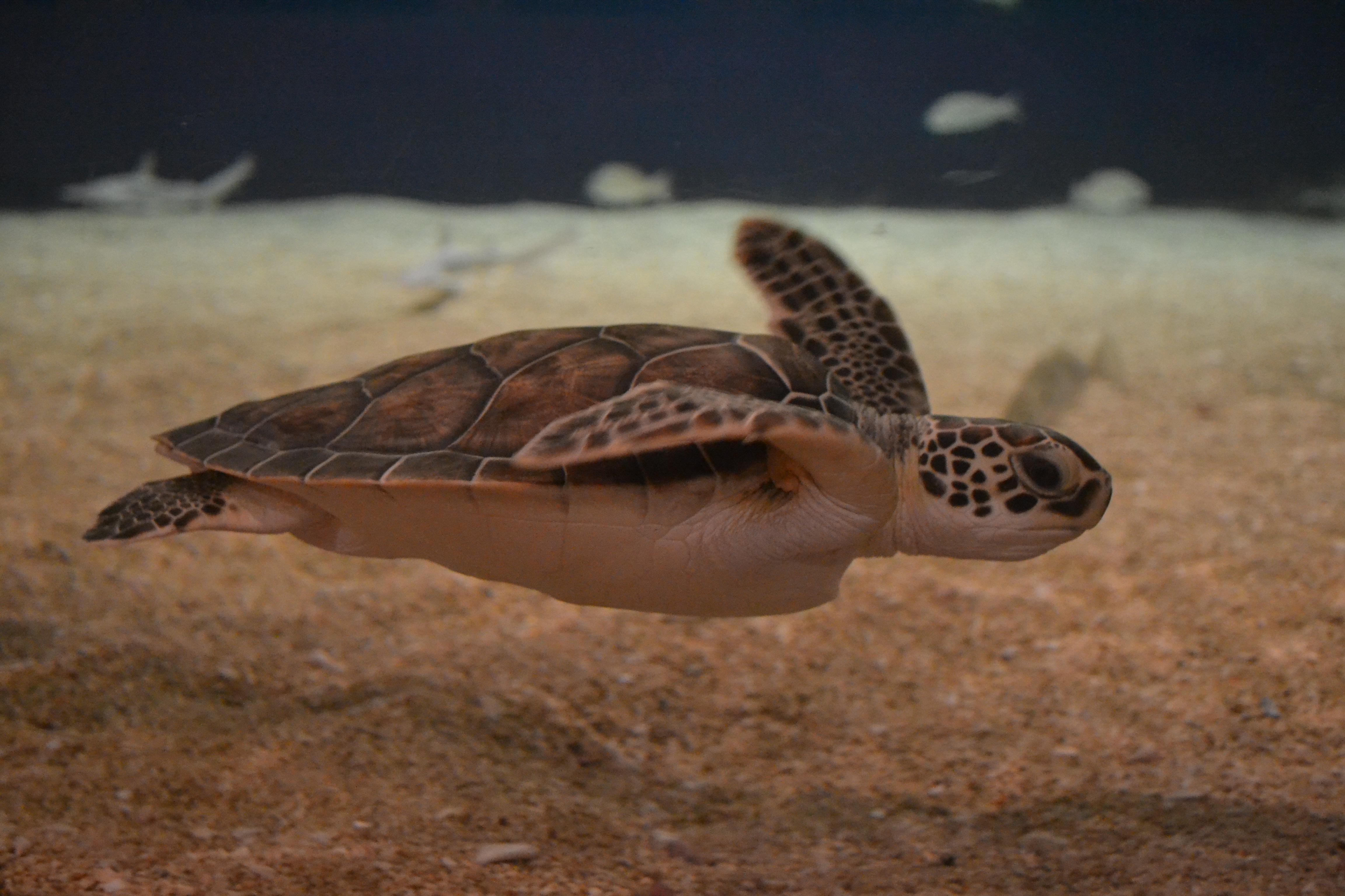 Turtle Can : Sea Turtle Facts Sea Turtle Exploration