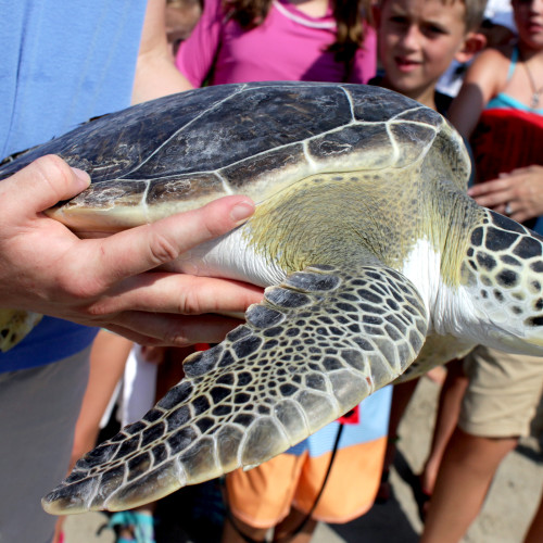 Womble, the green sea turtle, being released