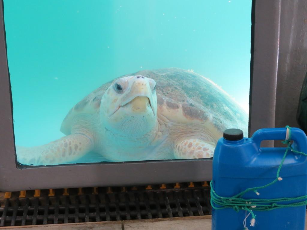 bottle wrapped around turtle when found