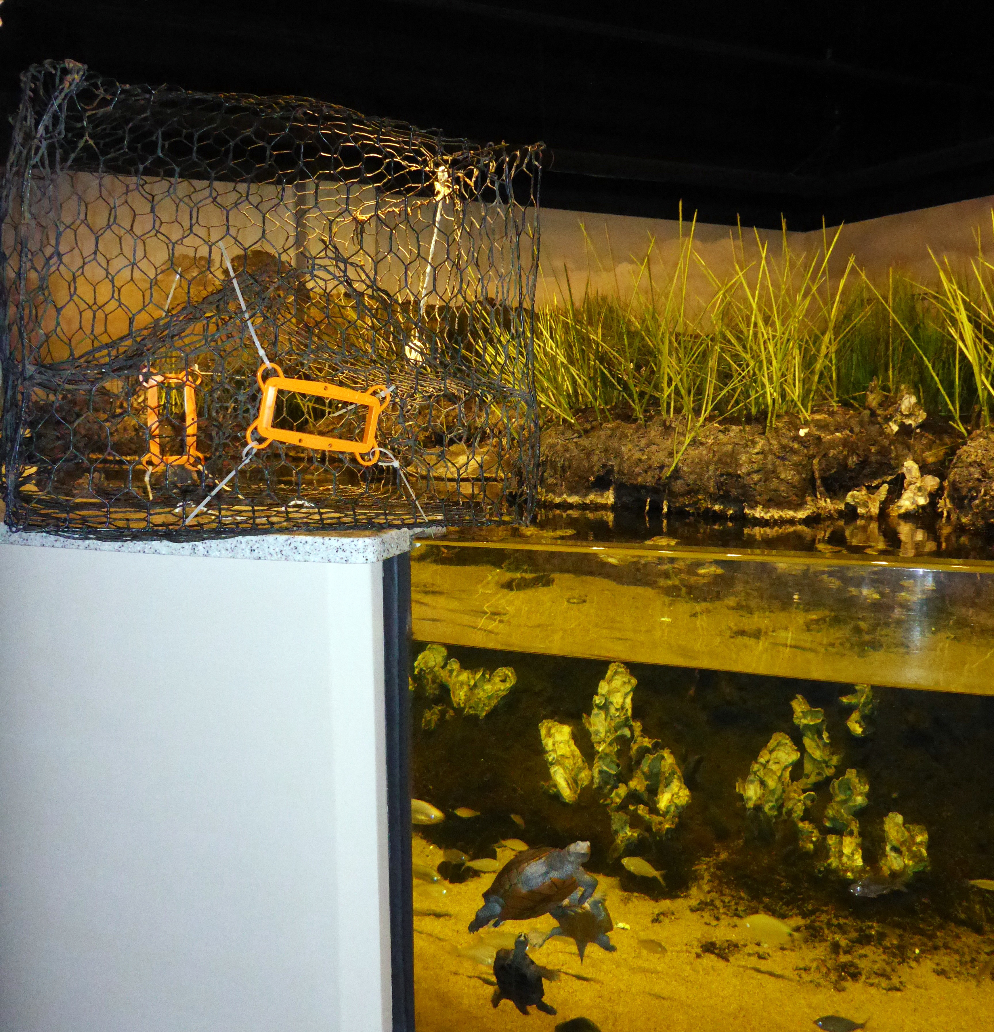 A crab pot fitted with bycatch reduction devices sits above diamondback terrapins at the Aquarium.