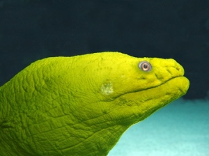 The Green Moray Eel that also lives in the Cape Fear Shoals with Shelldon