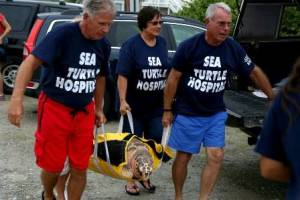 Alpha being taken to the beach by Sea Turtle Hospital volunteers.