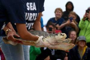 Lore, a Kemp's Ridley sea turtle, being taken to the beach by volunteers.