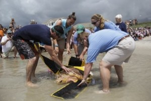Aquarium staff help Coldie, a Loggerhead sea turtle, prepare for take off!