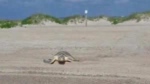 A Kemp's ridley sea turtle makes her way back to the ocean after nesting on Fort Fisher