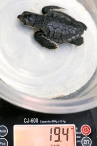 Turtle B is weighed in grams