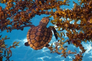 A sea turtle uses the Sargassum seaweed to help camouflage
