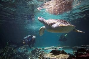 Calypso and a diver swim in the Blacktip Reef exhibit