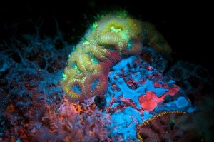 Biofluorescent  coral shows more than one color