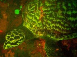 A close up glimpse of the glowing hawksbill as it swims in the Pacific Ocean