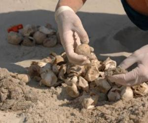 Scientists in Georgia collect a sample egg from a loggerhead nest