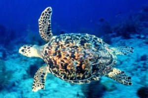 Hawksbill sea turtles have beautiful colors and patterns on their shell