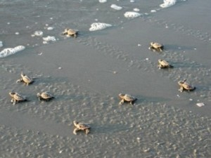 Loggerhead hatchlings imprint on their location as they crawl to sea