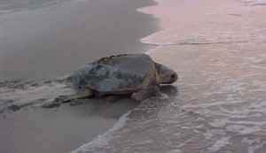 A nesting loggerhead makes her way on the beach to lay her eggs