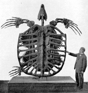 This Archelon skeleton shows how big it was compared to an adult human