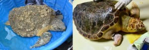 Before and after comparison of Belton, one the SC Aquarium's current patients who not only suffered from DTS but was also missing a portion of his right front flipper most likely from entanglement
