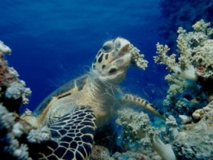 A hawksbill sea turtle takes a bite out of coral