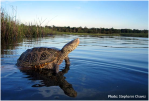 Diamondback terrapins are the only turtle species that live in the salt marsh that has a mixture of fresh and salt water