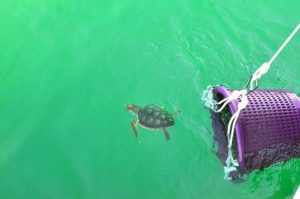 The yearling swims in the ocean for the first time