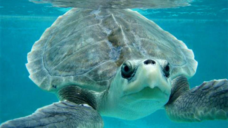 the green sea turtle draft