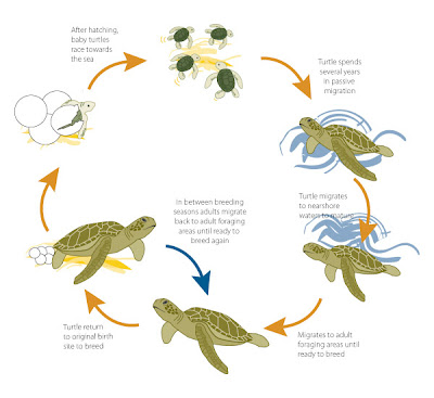 Sea Turtle Life Cycle (courtesy kingfisherbayresort.blogspot.com). Click to enlarge.