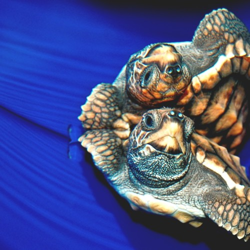 Loggerhead beaks are strong enough to break the hard shells of whelks and conchs.