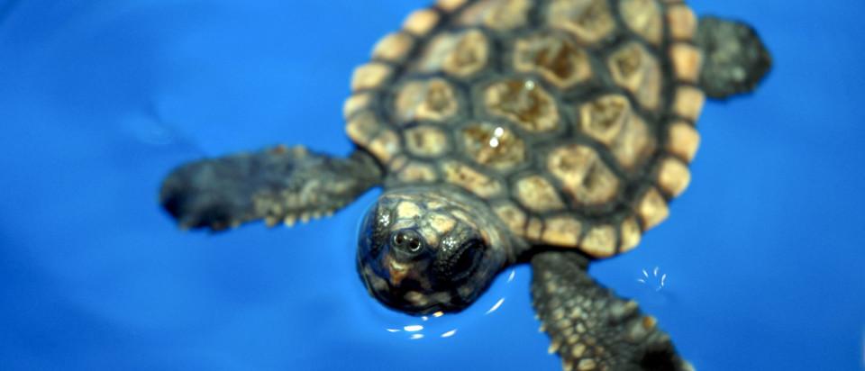 loggerhead-turtle-breathing-1