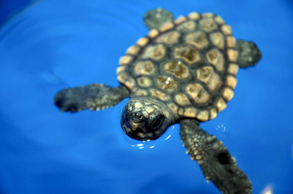 loggerhead-turtle-breathing-1